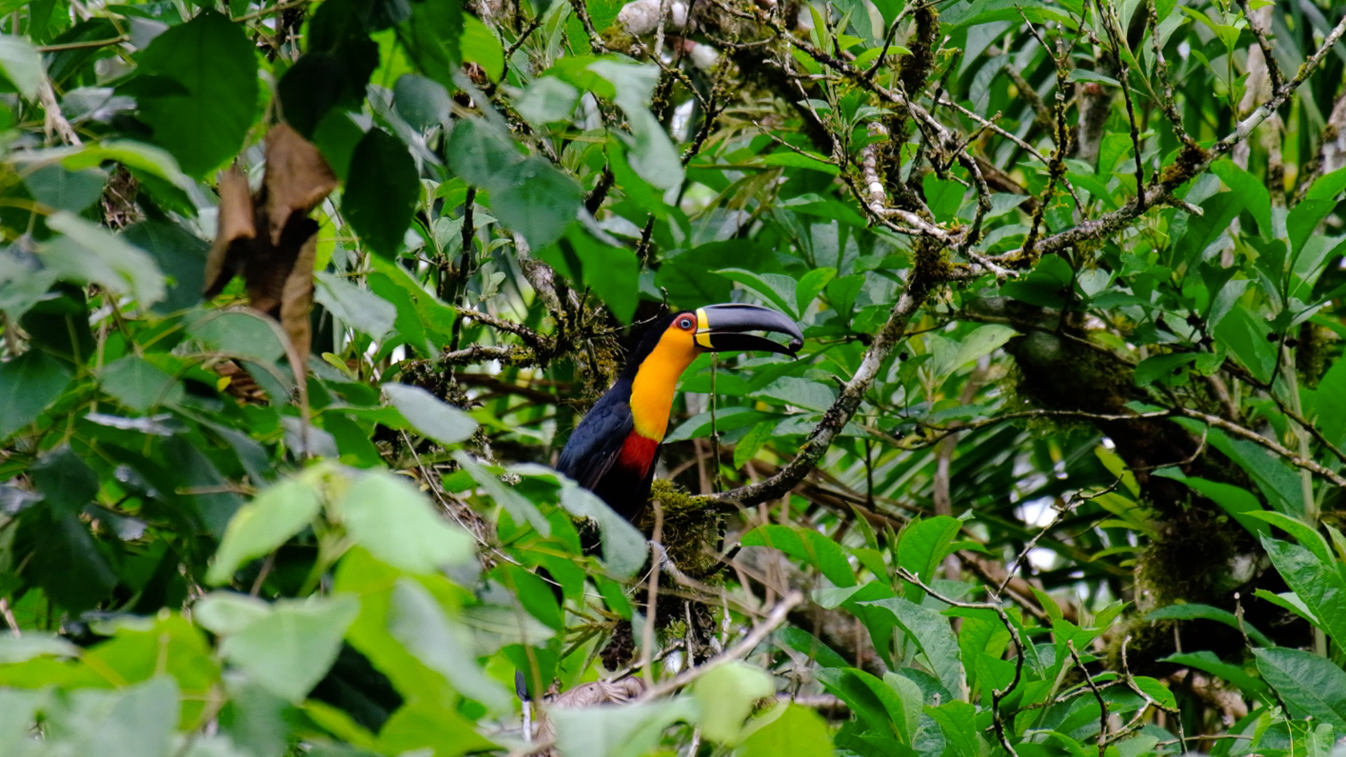 Tucan in the Atlantic rainforest