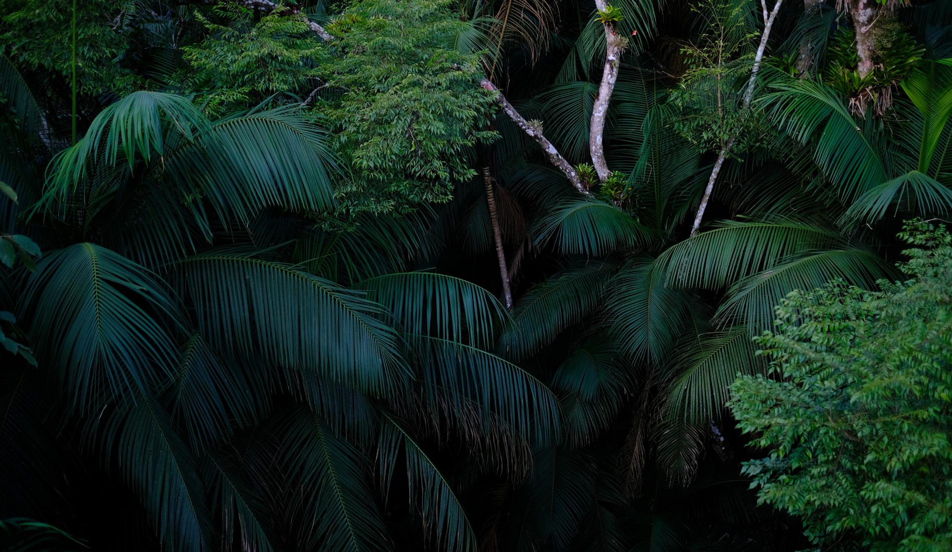 Palmeira Jucára