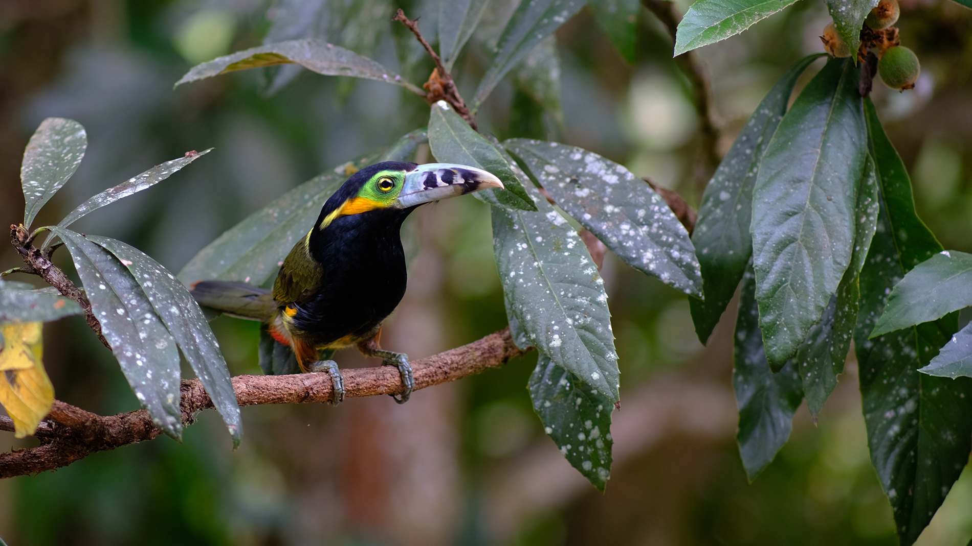 Araçari-Poca no Salve Floresta