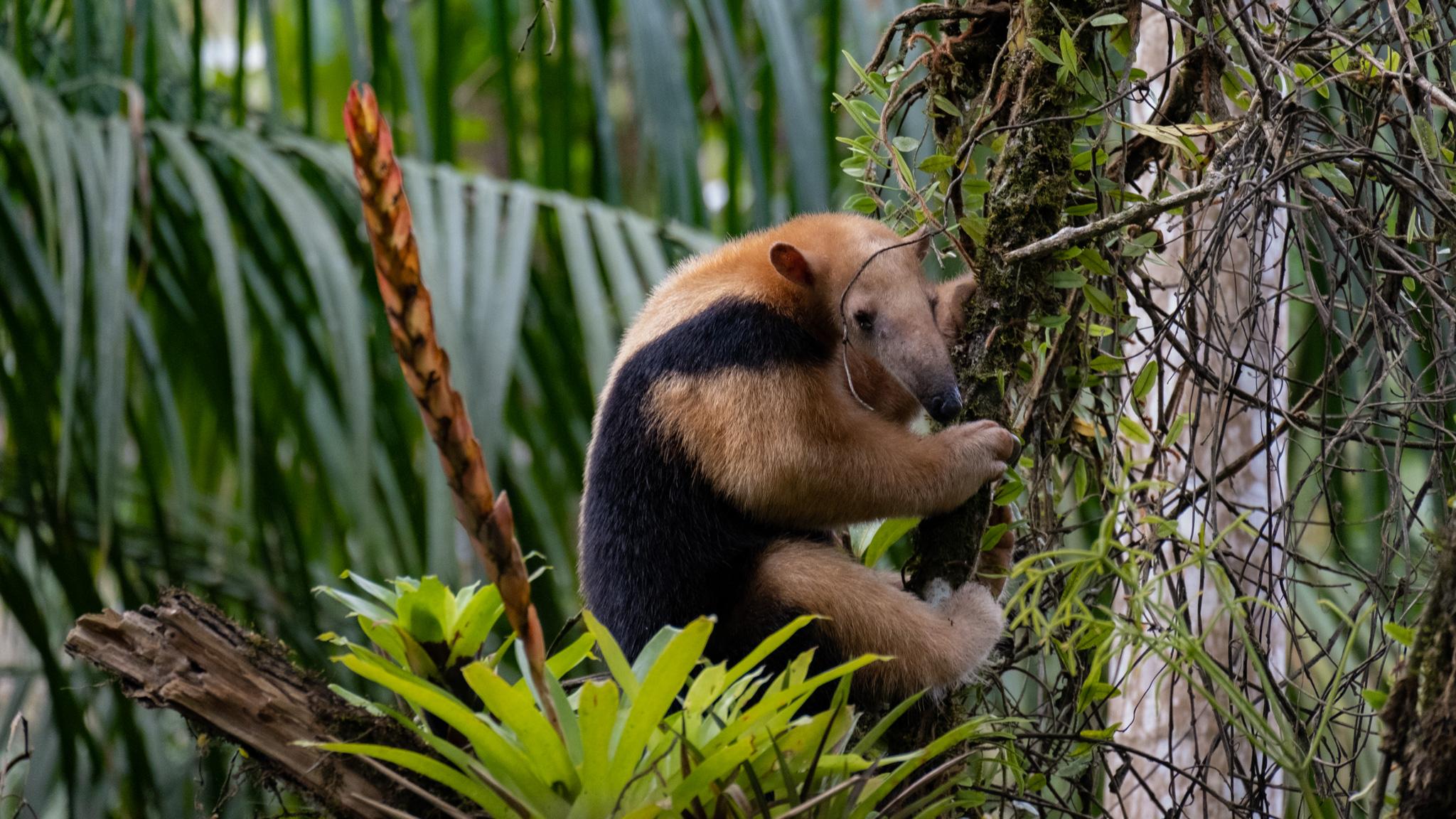 Um Tamanduá-mirim no salvel floresta